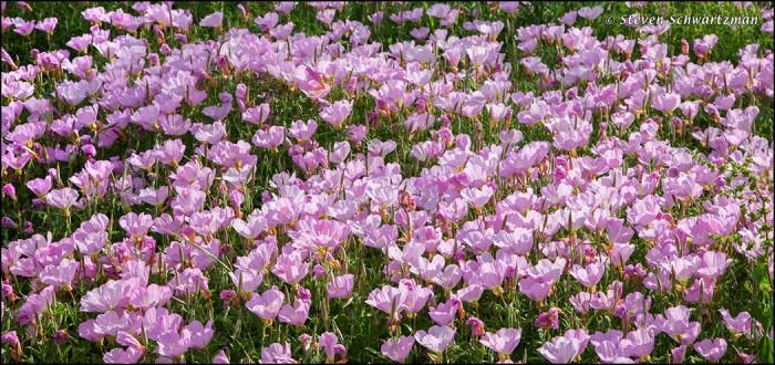 Pink Evening Primrose Colony 1684