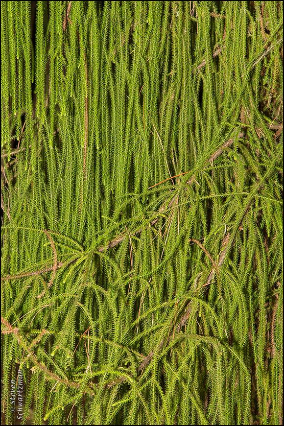 Rimu Tree Branches 4323