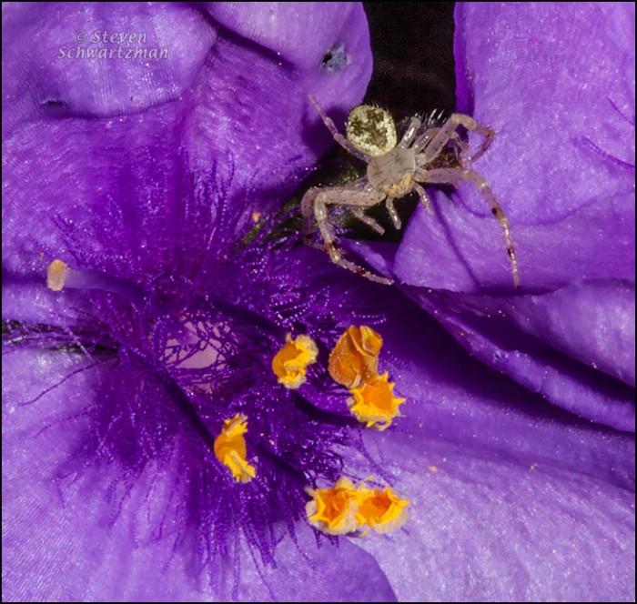 Small Spider on Spiderwort 8959A