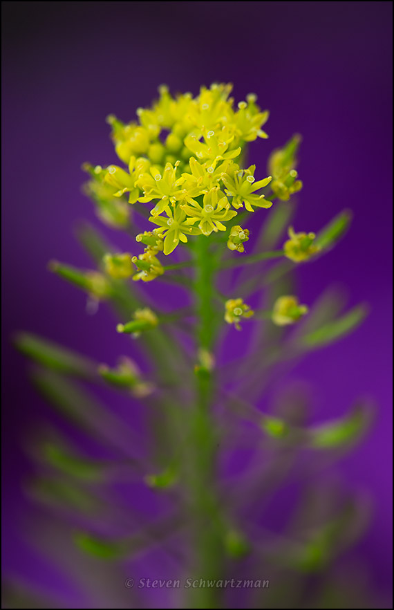 Tansy Mustard Flowers by Phlox 1811
