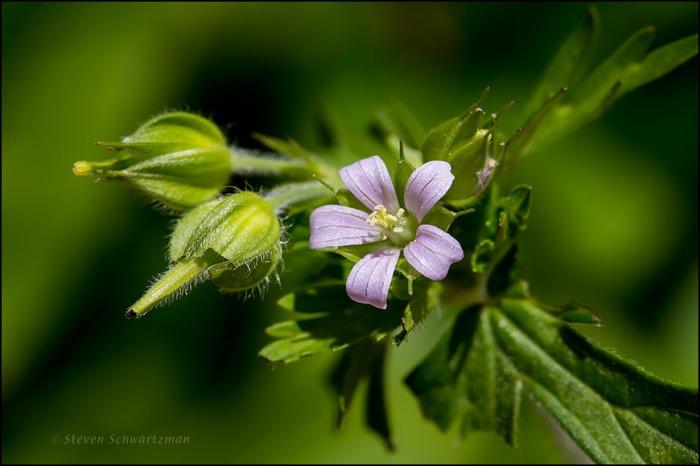 Wild Geranium Flower 9922