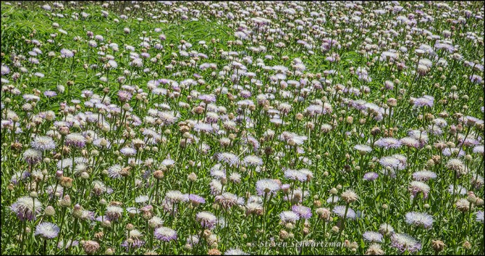 Basket-Flower Colony Flowering 3171