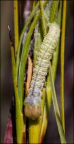 Caterpillar on Needle-Leaf Grass Tree 5860