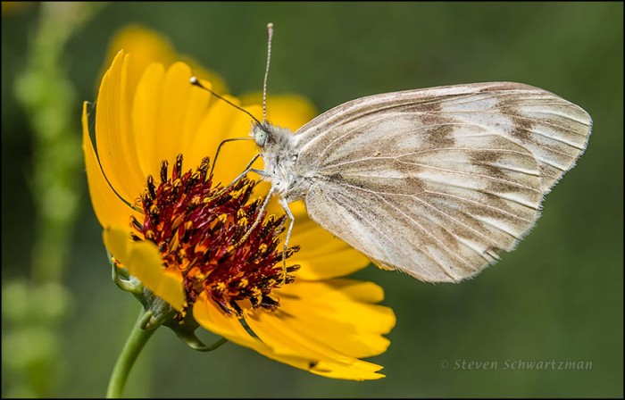 Checkered White Butterfly on Greenthread Flower Head 3272