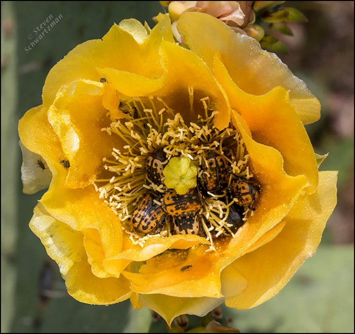 Euphoria kernii Beetles in Prickly Pear Flower 9008
