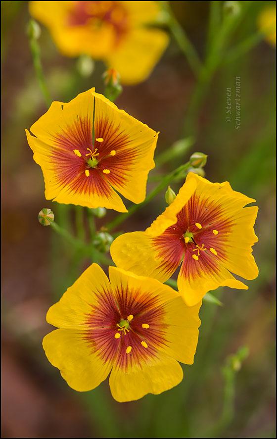 Hudson Flax Flowers 2382