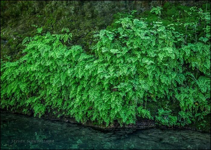 Maidenhair Ferns 2889