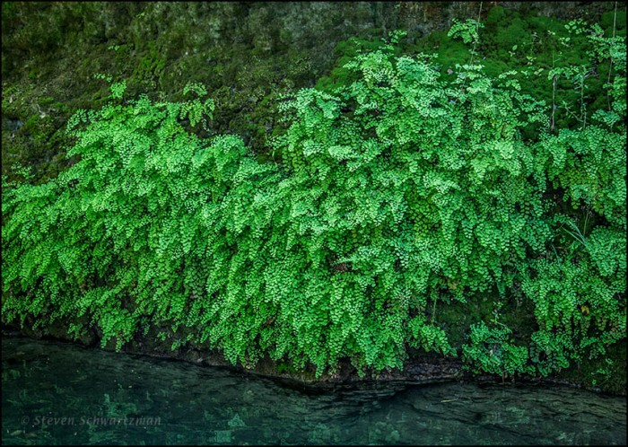 Maidenhair Ferns 2889