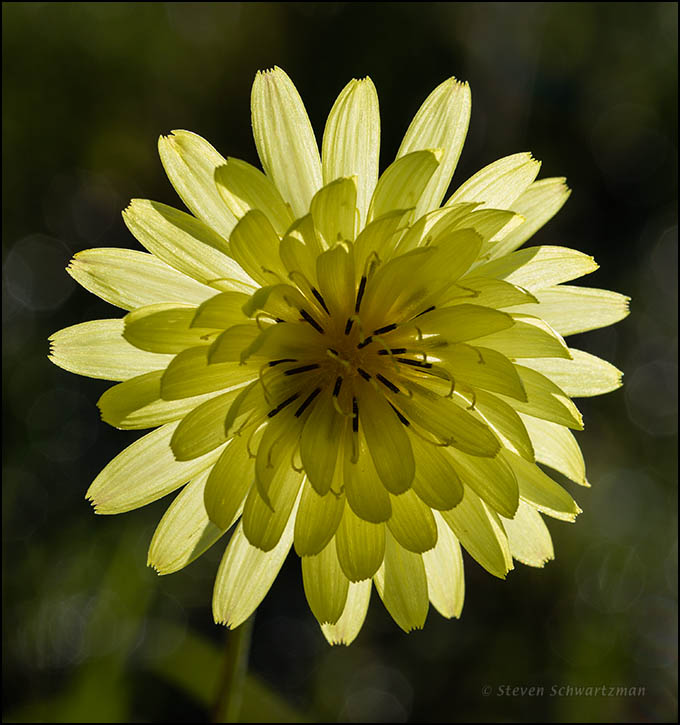 Texas Dandelion Flower Head Backlit 4172