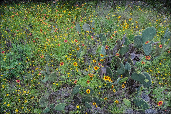 Wildflower Meadow with Prickly Pear 0700