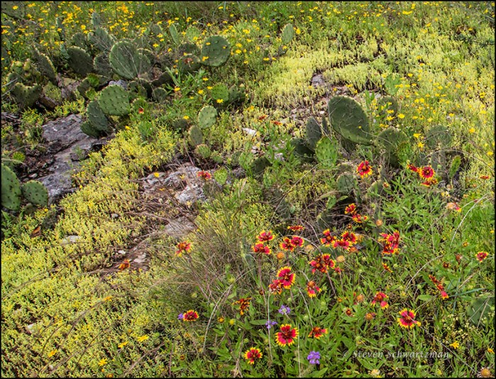 Yellow Stonecrop Colony with Other Wildflowers 0125A