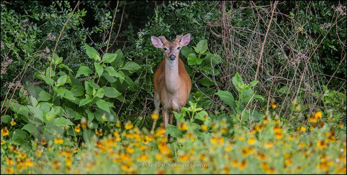 Young Male Deer Staring 1567