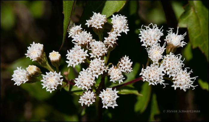 Ageratina havanensis Flowering 7384