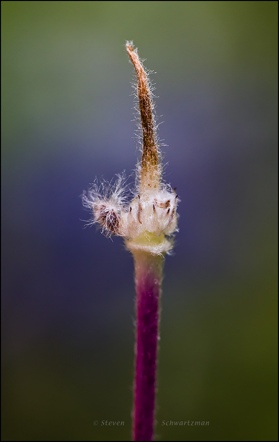 Anemone Seed Core Remains by Bluebonnet 9840