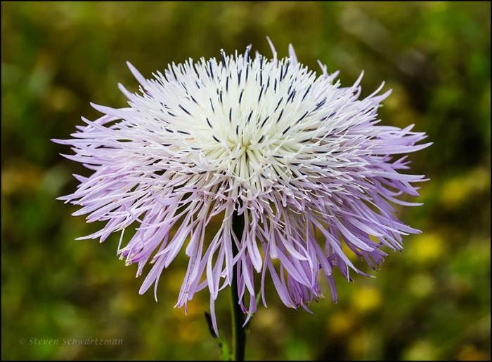 Basket-Flower Flower Head from Side 3577