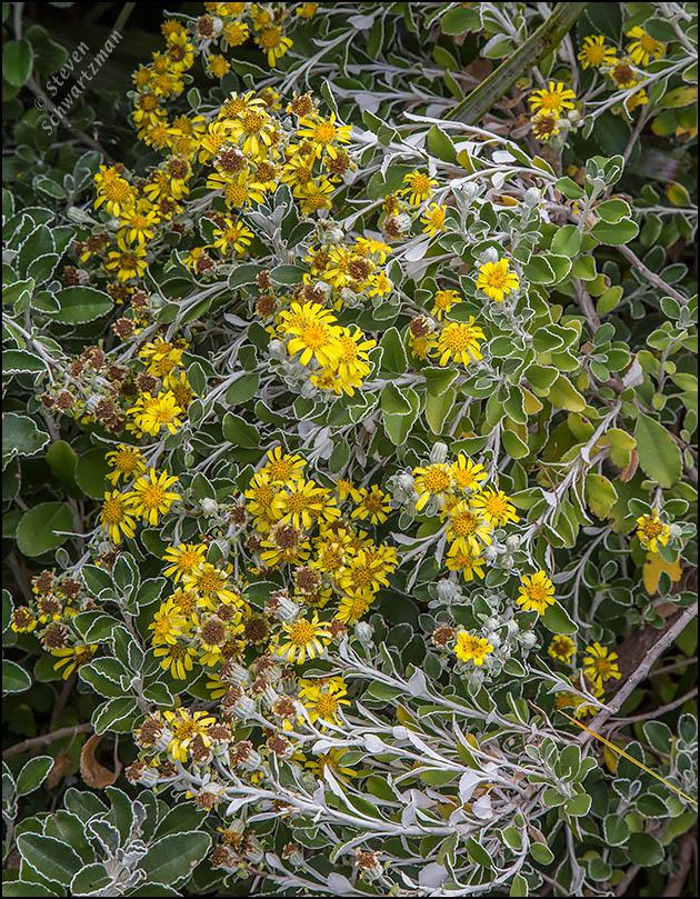 Brachyglottis compacta Flowers 5489