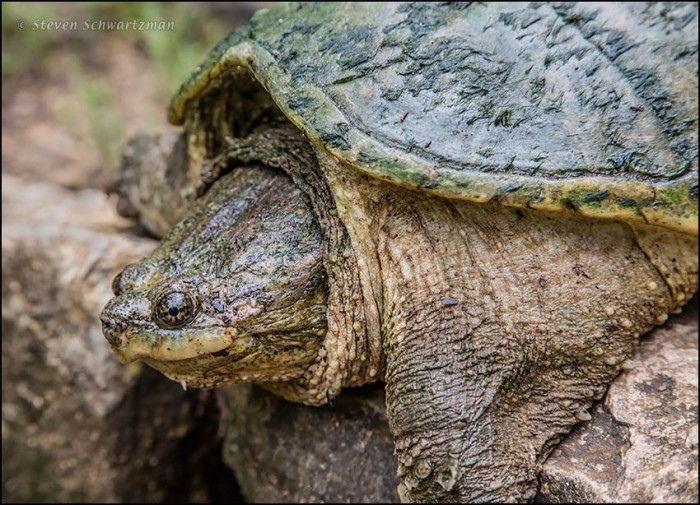 Common Snapping Turtle 0550