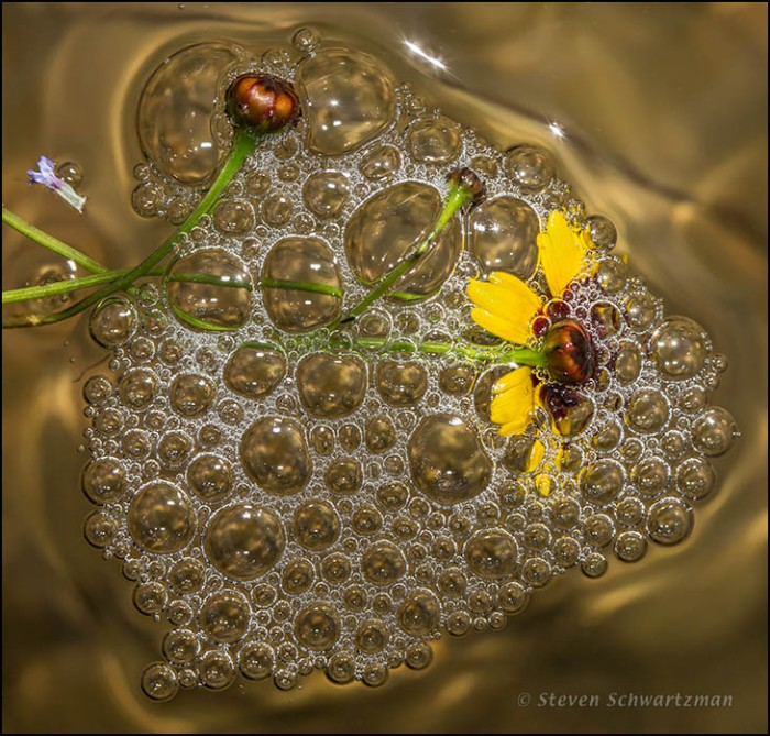 Coreopsis Flower Head in Bubbles 2959