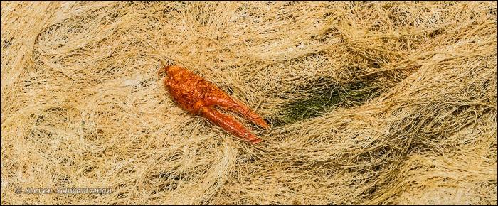 Crawfish Claw on Dry Algae 3666A