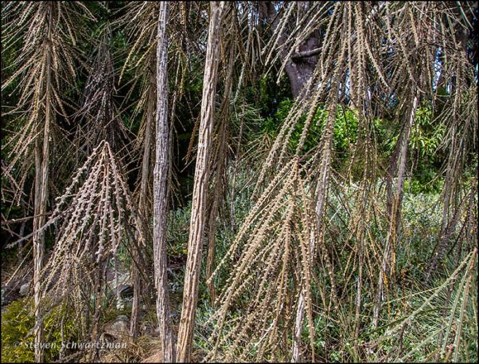 Fierce Lancewood Trees 5552