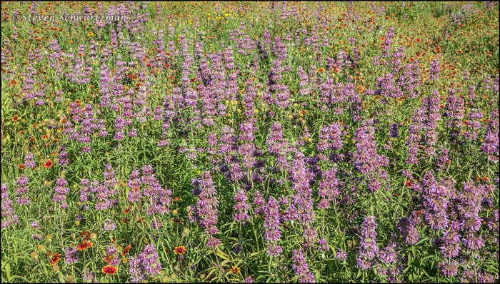 Horsemint Colony with Firewheels 5402