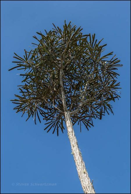 Mature Fierce Lancewood Tree 5564