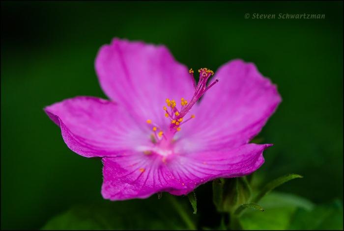 Pavonia Mallow Flower 8158