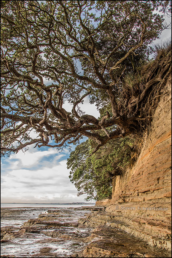 Pohutukawa Tree on Seaside Bluff 8432