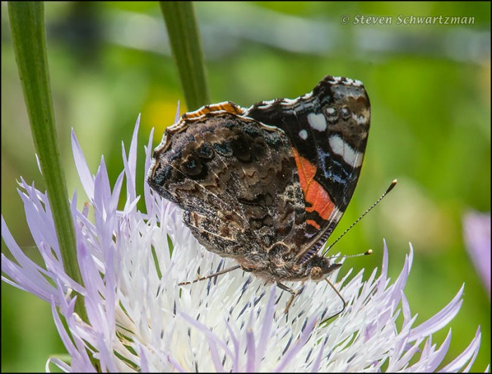 Red Admiral Butterfly on Basket-Flower 3998