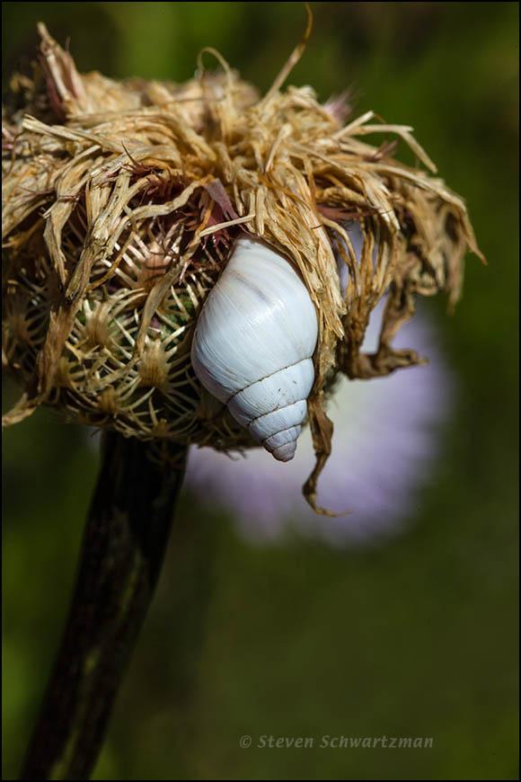 Small White Snail on Dry Basket-Flower 2998