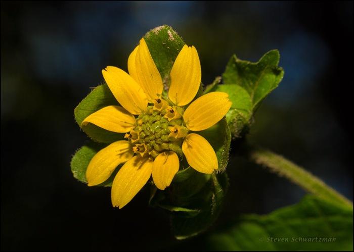 Smallanthus Flower Head 4882