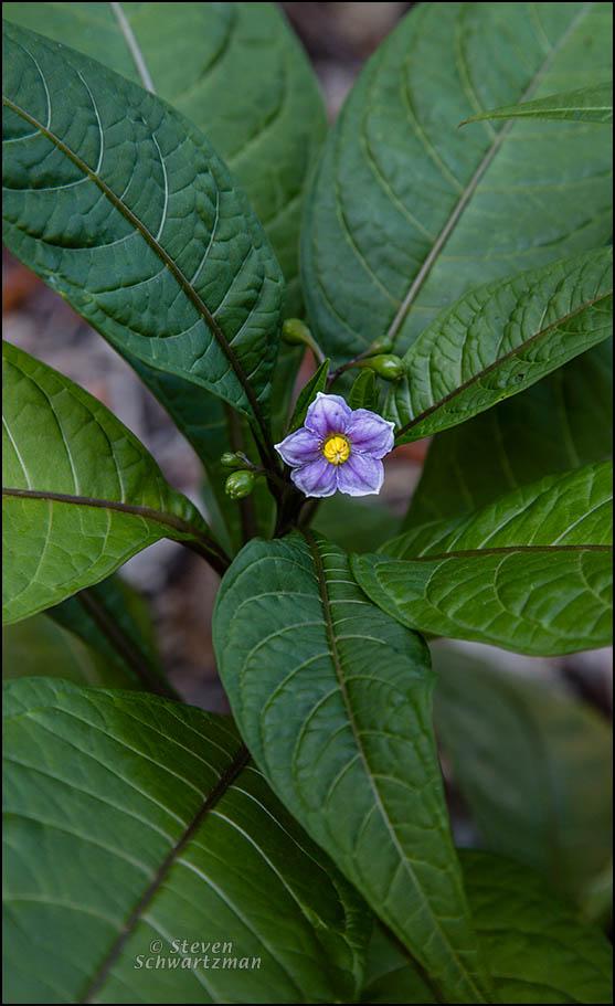 Solanum aviculare Flower 5592