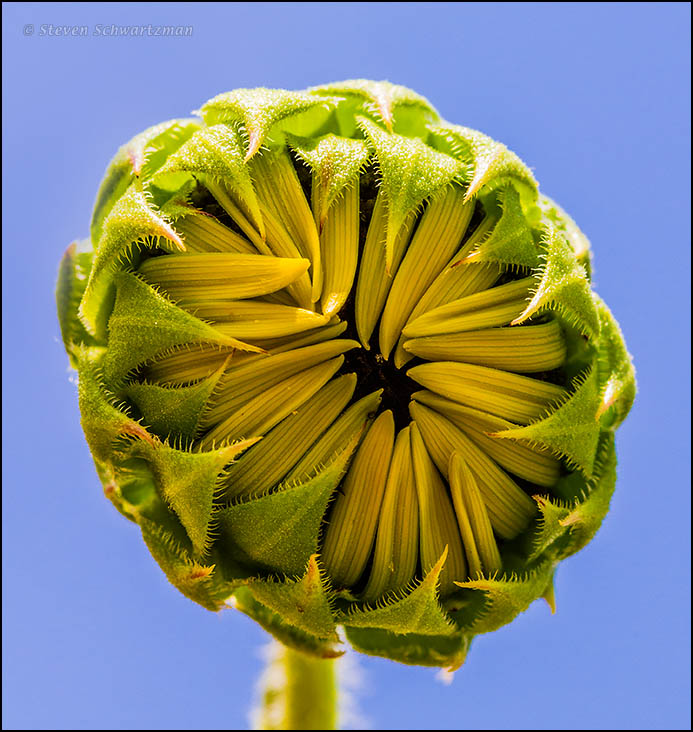Sunflower Bud Opening 7287