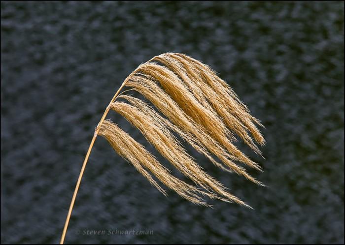 Toetoe Grass Seed Head 6239