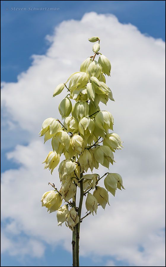 Twistleaf Yucca Flowers with Clouds 3938