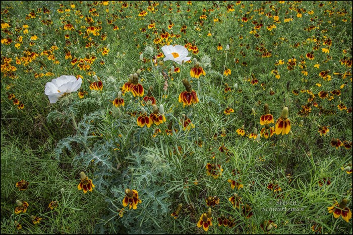 White Prickly Poppies in Mexican Hat Colony 1770