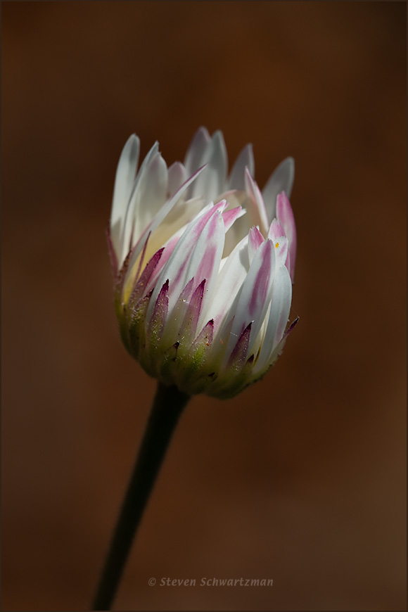 Aphanostephus skirrhobasis Bud Opening 5734