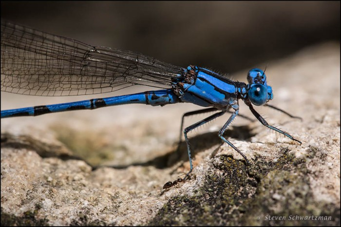 Aztec Dancer Damselfly with Ant 9632