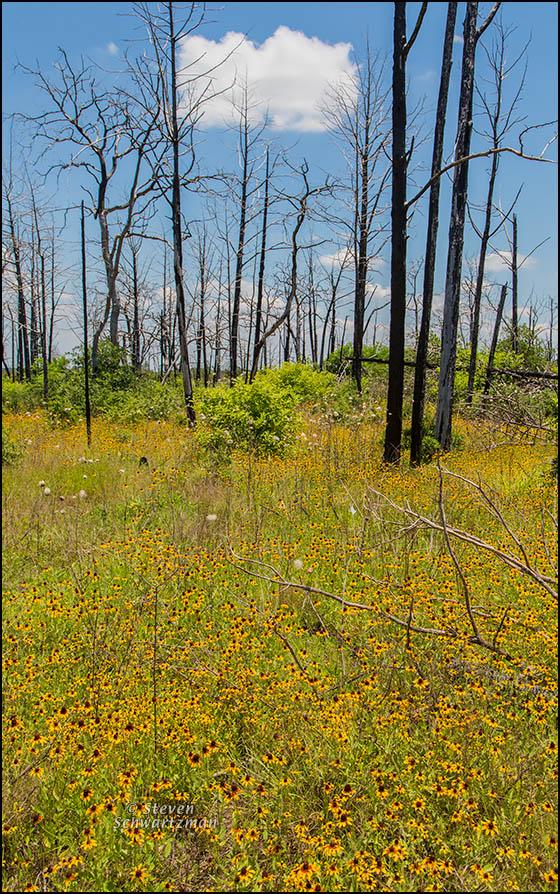 Black-Eyed Susans Amid Burned Bastrop Forest 6089