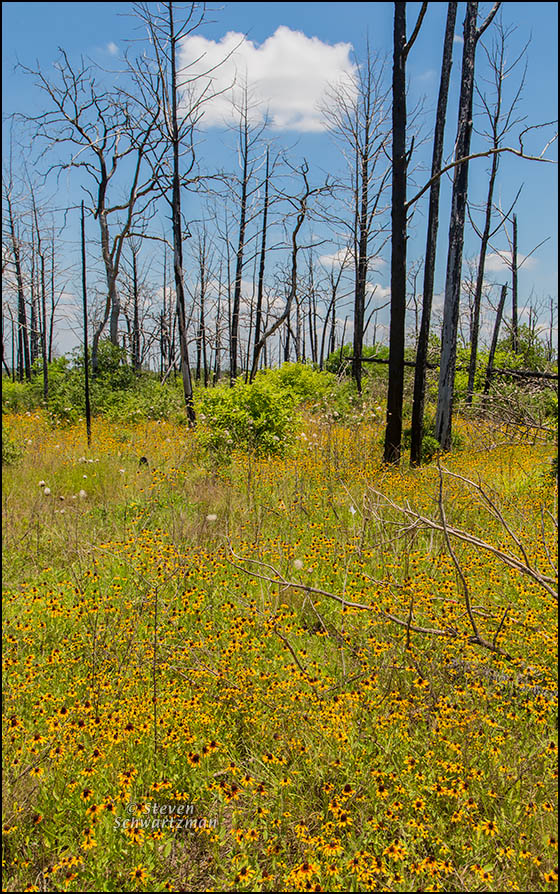 Black-Eyed Susans Amid Burned Bastrop Forest 6089