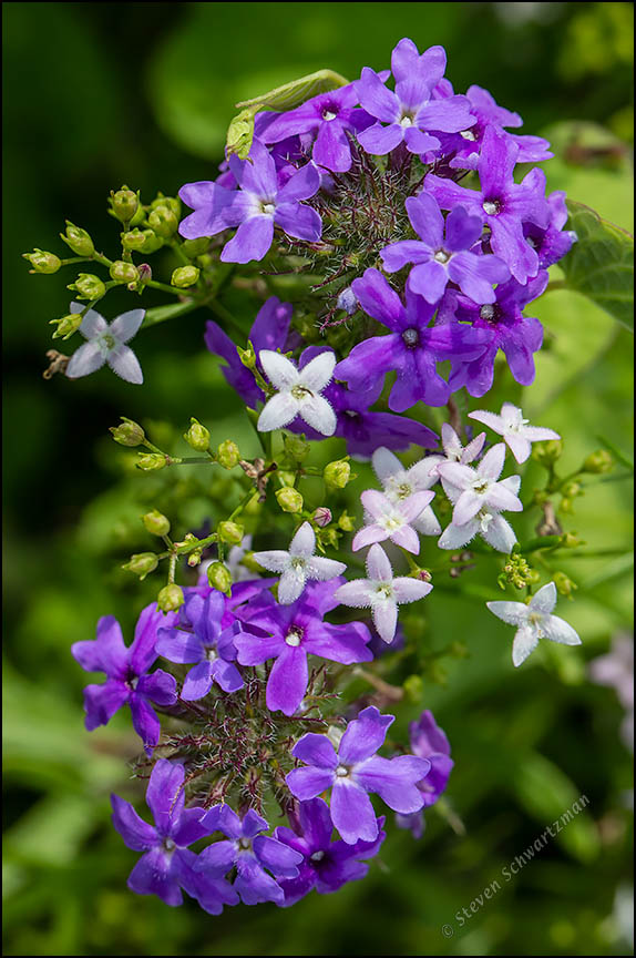 Bluets and Prairie Verbena 4616