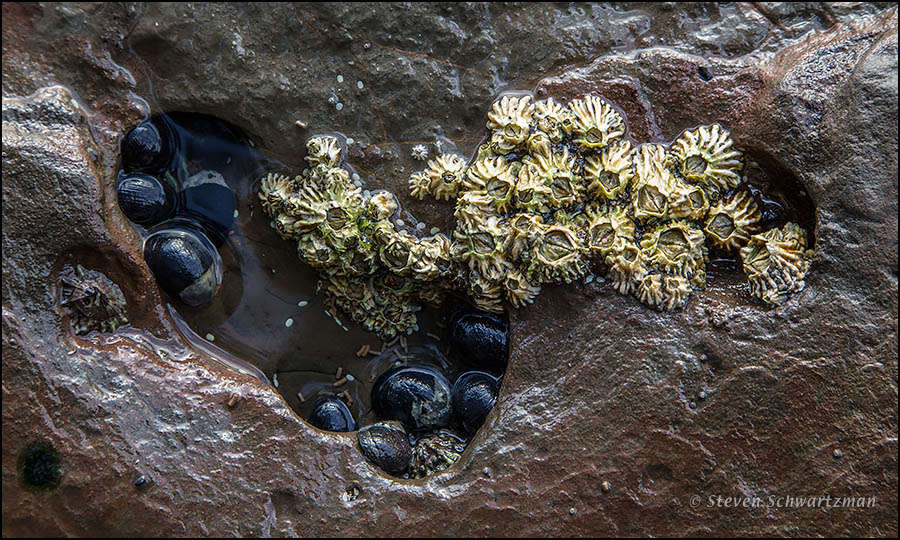 New Zealand: Barnacles | Portraits of Wildflowers