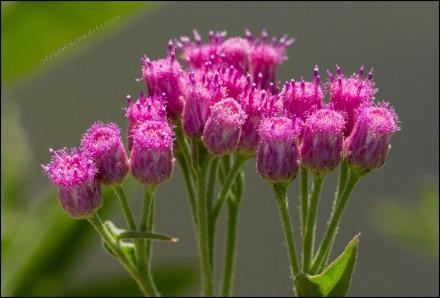 Marsh Fleabane Flowers 0275