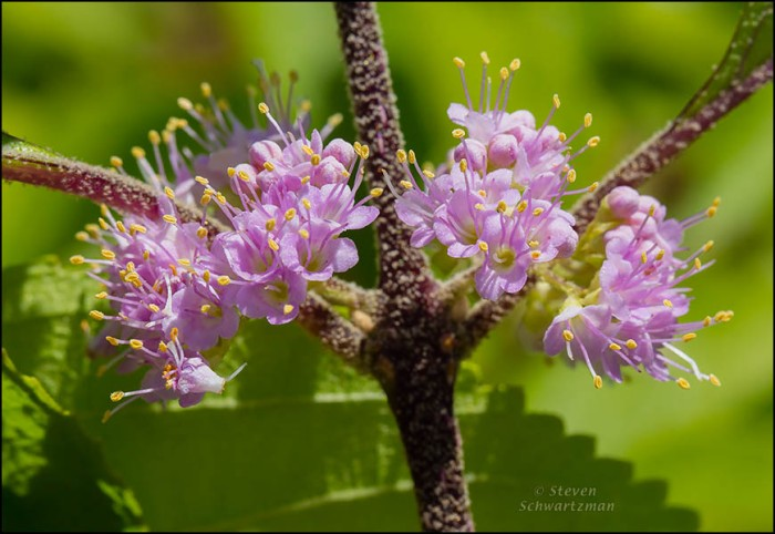 American Beautyberry Flowers 5896