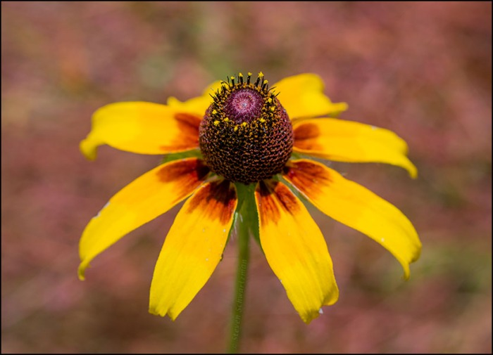Brown-Eyed Susan Flower Head by Pinweed 5487