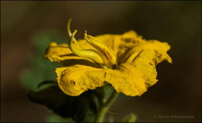 Buffalo Bur Flower 2375