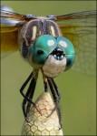 Dragonfly on Horsetail Strobilus 2189 Detail