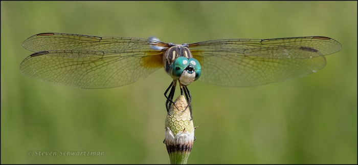 Dragonfly on Horsetail Strobilus 2189