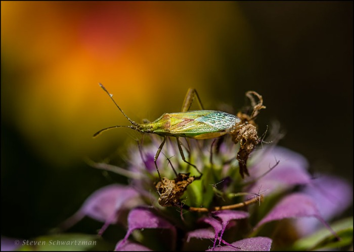 Harmostes Bug on Horesmint Flowers by Firewheel 7371