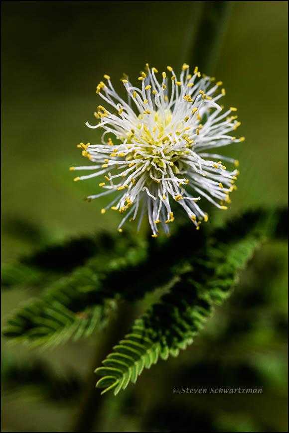 Prairie Mimosa Flower Globe 4327